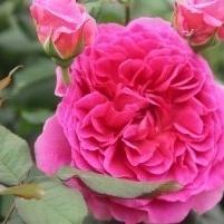 Gabriel Oak Rose from David Austin